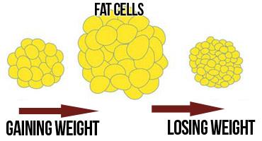 fat-cells